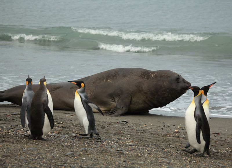 File:King Penguins and a big Southern Elephant Seal (5798484406).jpg