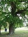 Knockholt oak trees (2).jpg