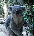 Koala in NSW.jpg