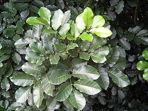 Kohekohe - Kohekohe foliage