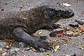 Komodo Dragon Varanus komodoensis (7881017672).jpg