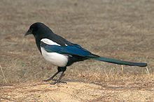 Korean magpie in Daejeon facing away.jpg
