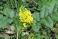 Korina 2013-03-31 Mahonia aquifolium.jpg