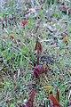 Korina 2017-04-04 Fallopia japonica 3.jpg