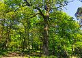 Kroezeboom (Konings Eik). Locatie, Kroondomein Het Loo 01.jpg