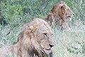 Kruger Lions (2272342740).jpg