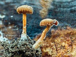 Sporophores de pholiote changeante couverts de givre. (définition réelle 5182×3886)