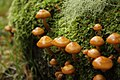 Kuehneromyces mutabilis in highlands, western Scotland.jpg