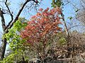 Kusum (Gujarati- કુસુમ) (3382144241).jpg
