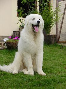 Gifts for Kuvasz Dog Lovers