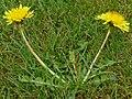 Löwenzahnblüte im Frühling0006.JPG