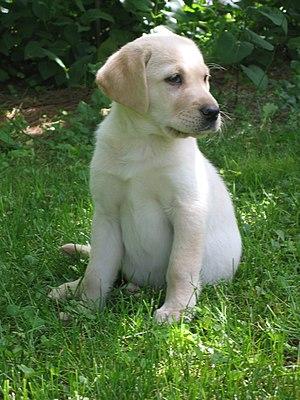A yellow Labrador Retriever puppy.