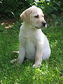 Labrador Retriever yellow puppy.jpg
