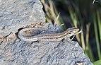 Lagarto tizón (Gallotia galloti), Icod de los Vinos, Tenerife, España, 2012-12-13, DD 08.jpg