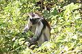 Laika ac Red Colobus Monkey (9724468455).jpg