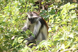Laika ac Red Colobus Monkey (9724468455).jpg