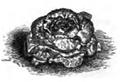 Laitue à bord rouge Vilmorin-Andrieux 1883.png