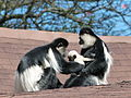 Lake Naivasha wildlife - Family at play 02.JPG