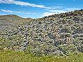 Lama guanicoe-CTJ-IMG 6945.jpg