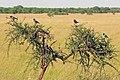 Lamprotornis superbus, Western Serengeti 3.jpg