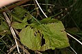 Lapsana communis (36013628774).jpg