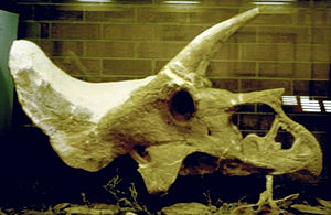 Laramie Formation - Skull of Triceratops from the Laramie Formation. This skull may be the oldest known for the genus. Currently on display at the courthouse in Greeley, Colorado