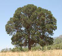 Large Blue Oak