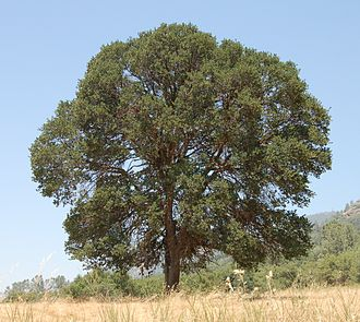 Quercus douglasii - A large blue oak in a pasture in Mariposa County, California.