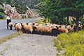 Large herd of sheep Greece.jpg