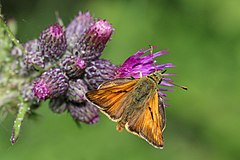 Large skipper butterfly (Ochlodes sylvanus) male 2.jpg