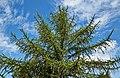 Larix × marschlinsii IMG 9382.jpg
