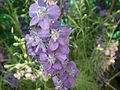 Larkspur or Delphinium from lalbagh 1804.JPG