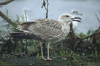 Caspian gull - Image: Larus cachinnans 1 young (Marek Szczepanek)