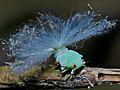 Leafhopper Nymph (Cicadellidae) (6807874857).jpg