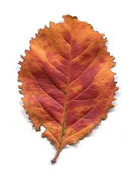 Leaves of trees in autumn. Adaxial.jpg