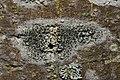 Lecidella elaeochroma 84409737.jpg