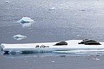 Lemiare Channel Antarctica Seals on Ice Flow (40371837403).jpg