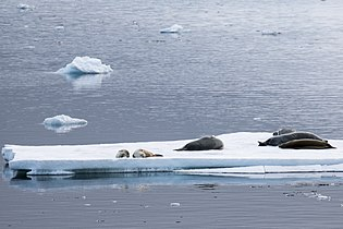 Lemiare Channel Antarctica Seals on Ice Flow (40371837403).jpg