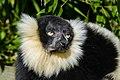 Lemur (26726565448).jpg