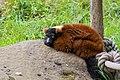 Lemur (36614938095).jpg