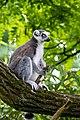 Lemur (36901197376).jpg