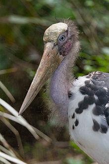 Burung Botak Kecil