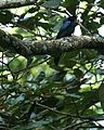 Lesser Racket-tailed Drongo Dicrurus remifer by Dr. Raju Kasambe IMG 0890 (5).jpg