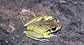Lesueurs Tree Frog (Litoria lesueuri) (8398109660).jpg