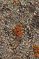 Lichen (42999471021).jpg