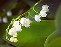 Lily of the valley (49873814251).jpg
