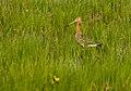 Limosa limosa 01(js), Biebrza National Park (Poland).jpg