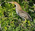 Lineated Tiger Heron (Tigrisoma lineatum) immature (29083814541).jpg
