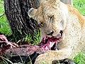 Lion (3076026532).jpg