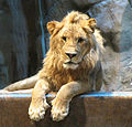 Lion Portrait MGM Grand Lion Habitat, Las Vegas Nevada.jpg